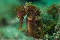 BD-161103-Alor-4738-Hippocampus-kuda.-Bleeker.-1852-[Spotted-seahorse.-Gul-sjöhäst].jpg
